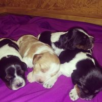 FRENCH BRITTANY PUPPIES