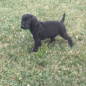 GSP pups for sale