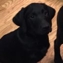 NOW $500 AKC British Lab Puppies