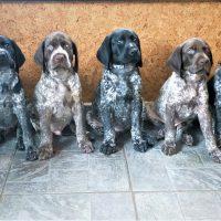 """German Short hair  Pointer puppies .  FCI Kennel """"vom den Waldschatten"""" have puppies for sale."""