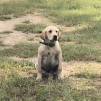 Started Yellow Male Lab