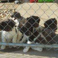 Small Munsterlander Pointer Puppies - Current & Planned Litters