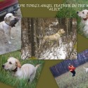 RiversWild Retrievers All Yellow Pointing Labrador Pups