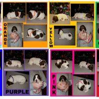 Champion bloodline GSP puppies