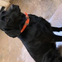2 year old trained female AKC Black Lab