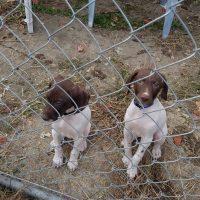 German shorthair puppies