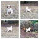 NATIONAL CHAMPION SIRED BRITTANY PUPPIES