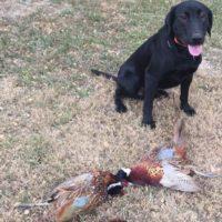 Black Labrador Hunting Dog for Sale (Male)