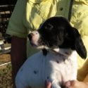 Champion Bloodline English Setter puppies for sale