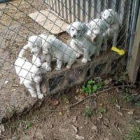 Llewellin Setter puppies