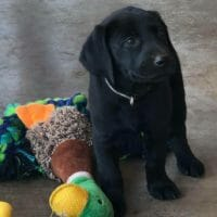 AKC registered American field labrador puppies
