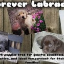 Lab Puppies--Extensive Hunting Lineage & GENETIC health testing!