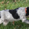 Epagneul Breton (French Brittany) Pups available! Champion bloodlines, field tested, family approved!