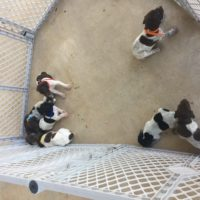 AKC German Shorthair Pointer Puppies
