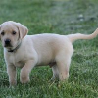 1 Y MALE AKC PUP MH/HRCH SIRED - READY NOW !
