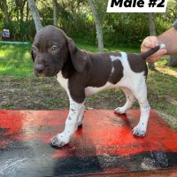 Browse Ads Buy Hunting Dogs Pointers Gsp Labs Hounds Pups