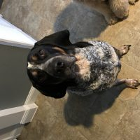Bluetick Coonhound looking for hunting partner