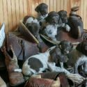German Shorthair pointers FUTURE HUNTERS