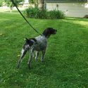 German Wirehaired Pointer Pups - Due Sept 15th