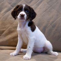 English Springer Spaniel Puppies - Ready to Go