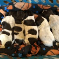 AKC German Wirehaird Pointer Puppies