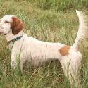 English Setter Puppies Jetsetter bloodlines/ Highway Dan