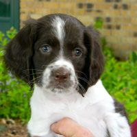 Perfect French Spaniel Pups Ready To Leave Now
