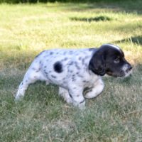 Great English Setter Pups- Grouse Ridge Pedigree