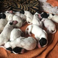 FDSB Registered English Setter Puppies For Sale