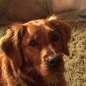 Golden Retriever Puppies| Hunting | Service
