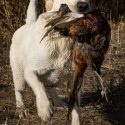 Yellow Lab Pups Bred for Family, Field & Performance - CH & MH Sired, HOF Pedigree