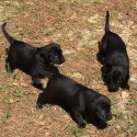 Duck Dog / Hunt Test Puppies available from Rite Trak Farms