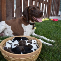 German Shorthaired Pointer Litter - Your New Hunting Partner Has Arrived!