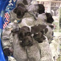 Drahthaar Puppies