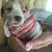 Brittany Puppies