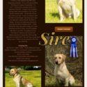 Champion pedigree black lab puppies