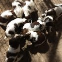 Brittany Spaniel Pups