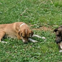 Mountain Cur puppies ready to be trained