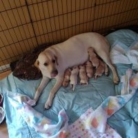AKC YELLOW LAB PUPS FOR SALE LOCATED ON LONG ISLAND NY