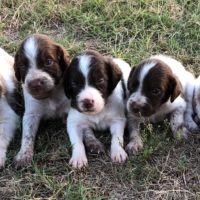 American Brittany pups, Nolan's last bullet grand babies
