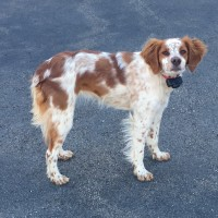French Brittany Spaniel- 1 Year Old Female