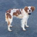 French Brittany Spaniel- 1 Year Old Female