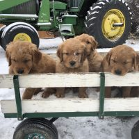 Christmas Field Golden Retriever Puppies