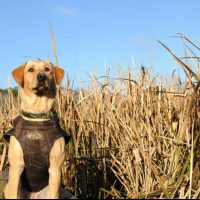 AKC RED/YELLOW HUNTING RETREIVER PUPPIES