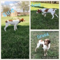 AKC Brittany Spaniel Puppies