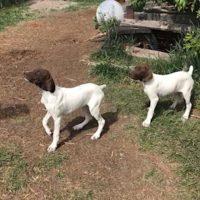 AKC German Shorthair Pointer Pups