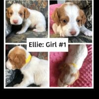 AKC Brittany Puppies