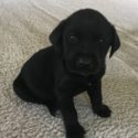 AKC Registered Labrador Puppies