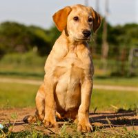 Browse Ads Buy Hunting Dogs - Pointers, GSP, Labs, Hounds, Pups
