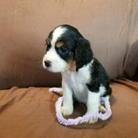 AKC Registered English Springer Spaniel Puppies